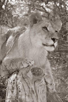 Lioness
