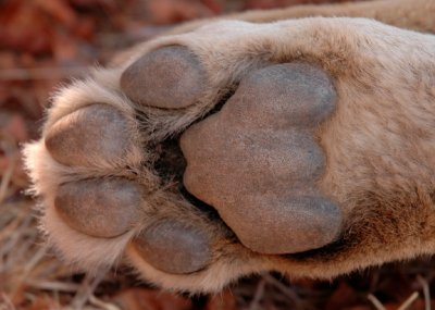 Lion paw