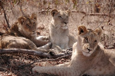 Lions and lioness