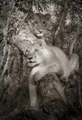 lions climbing