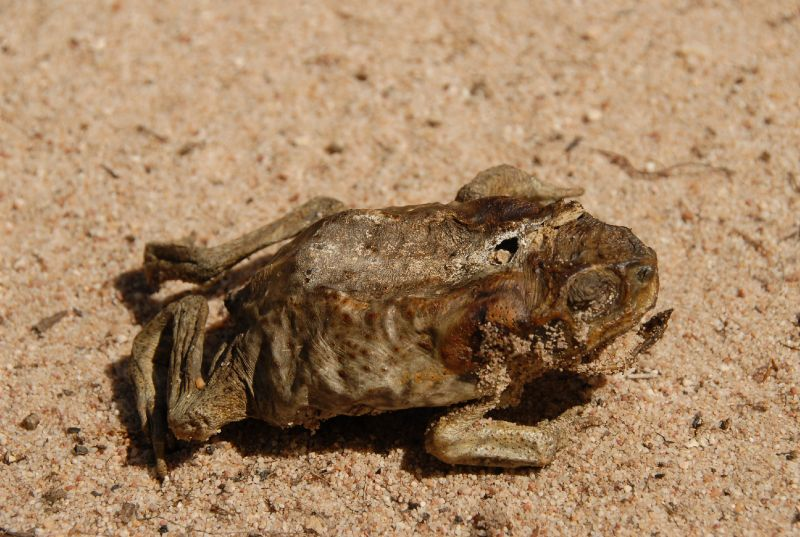 Cane Toad Fever