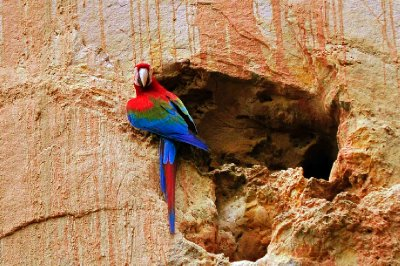Macaw at nest hole