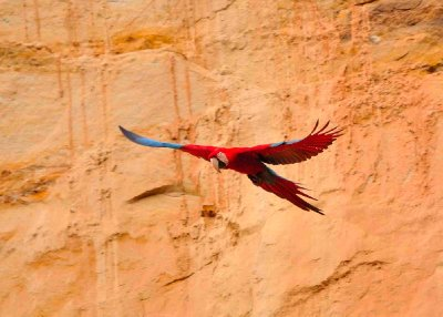 Red Macaw in flight