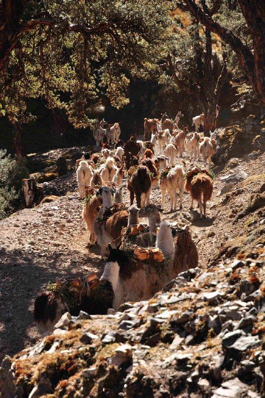 Llama train