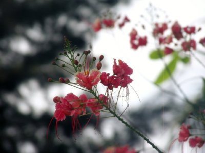 Red Tiny Bud Flower
