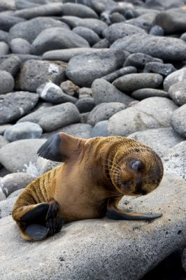 baby sea lion