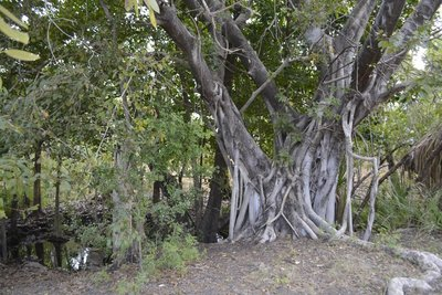 17 Calvert River Camp Tree