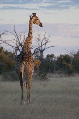 DSC_0023 giraffe