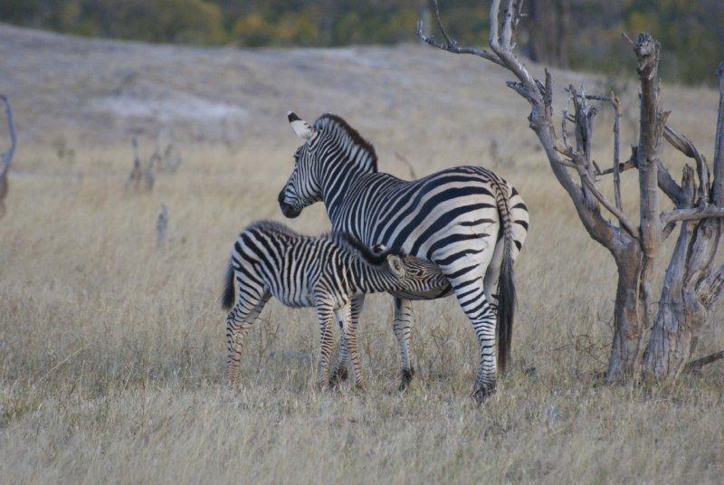 DSC_0015 2 Zebra