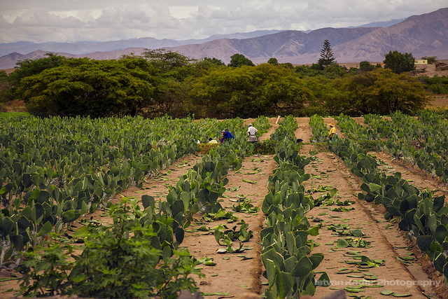Cochineal Farming on Opuntia Plantation