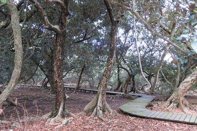 白花魚藤 荔枝窩自然步道
