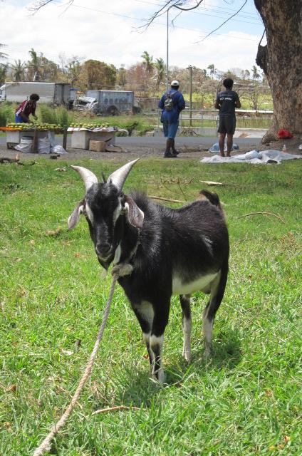 Goat in Lautoka 2