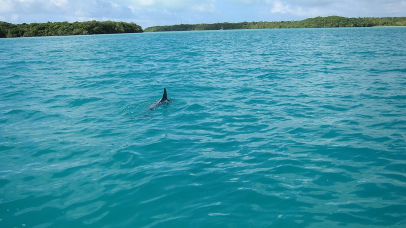 dolphin @ Island of Pines