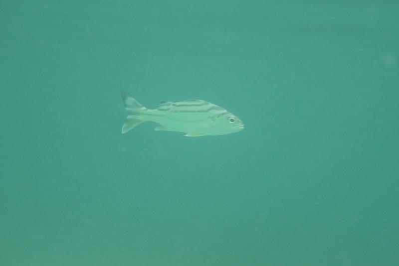 Mana Island  Fish