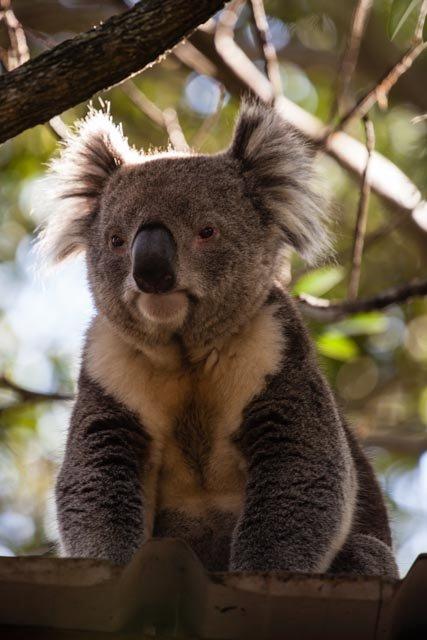 Koala Lookout