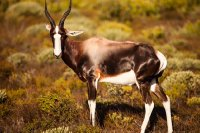 Bontebok.  Table Mountain National Park.