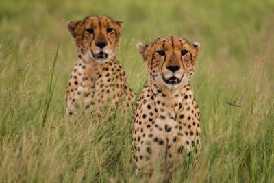Cheetahs at Dawn