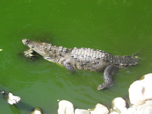 crocodile at the habitat
