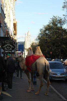 270_camel_in_t..streets.jpg