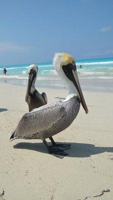 Pelicans at Varadero