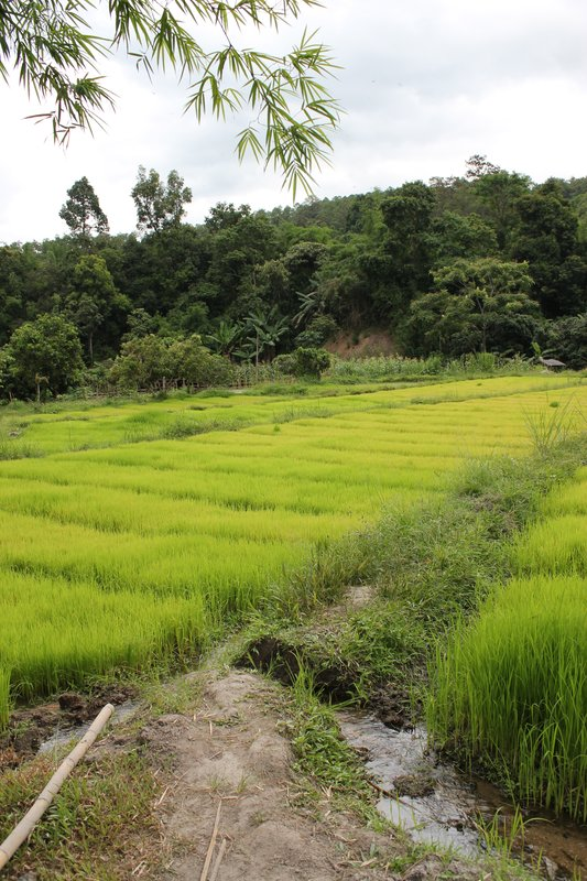 Village Rice Fields