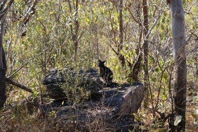 2012 Aug 16 Black Wallaby at Nourlangie