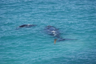 2012_Oct_1..lf_whales_3.jpg