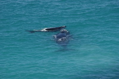 2012_Oct_1..lf_whales_4.jpg