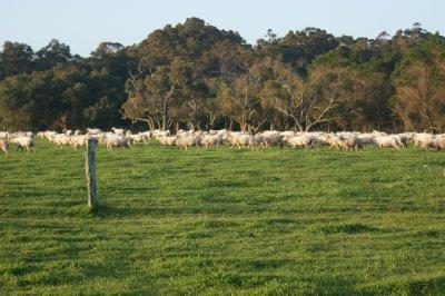 2012_Oct_9..ans_Sheep_1.jpg