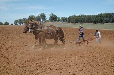 2016 Mar 5 Horses and potato plough (Copy)