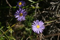2012_ct_9_Blue_Wildflower.jpg