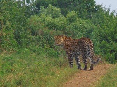 Leopard in Aberdare NP