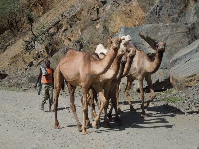 Camels on the way to Marich Pass