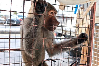 animals like monkeys, birds, and dogs, are typically kept in cages and sold on the roadside