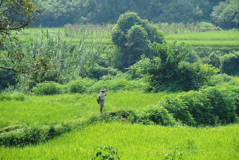 large_ricefield.jpg