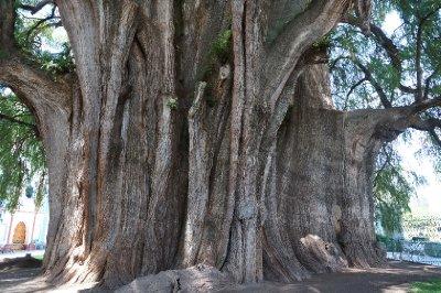 Tule Tree (11)