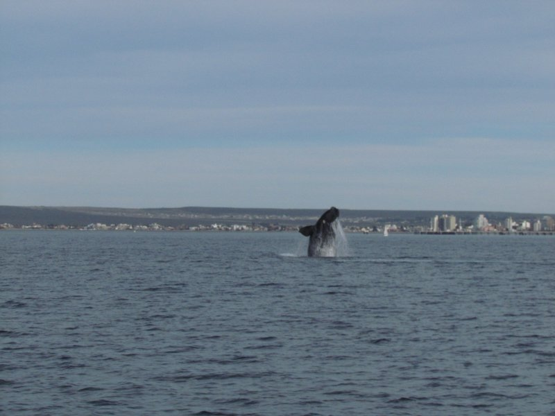 Whale jumping!
