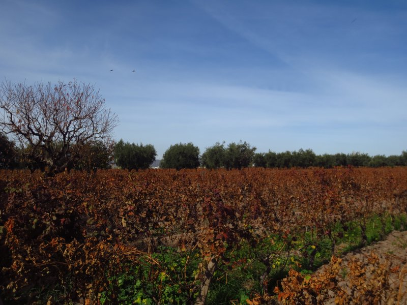 The oldest vines at Lagarde