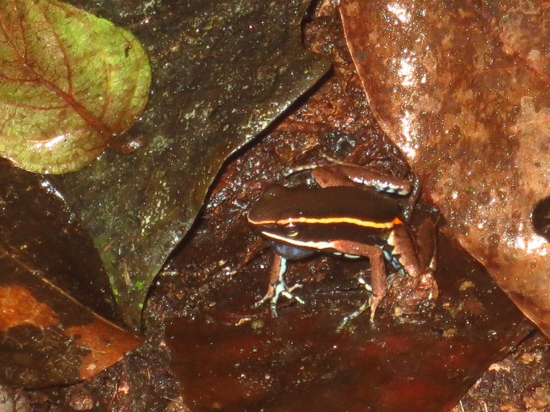 Red spotted poison dart frog