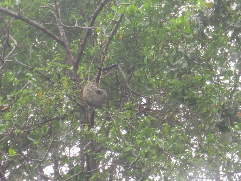 A sloth in the trees