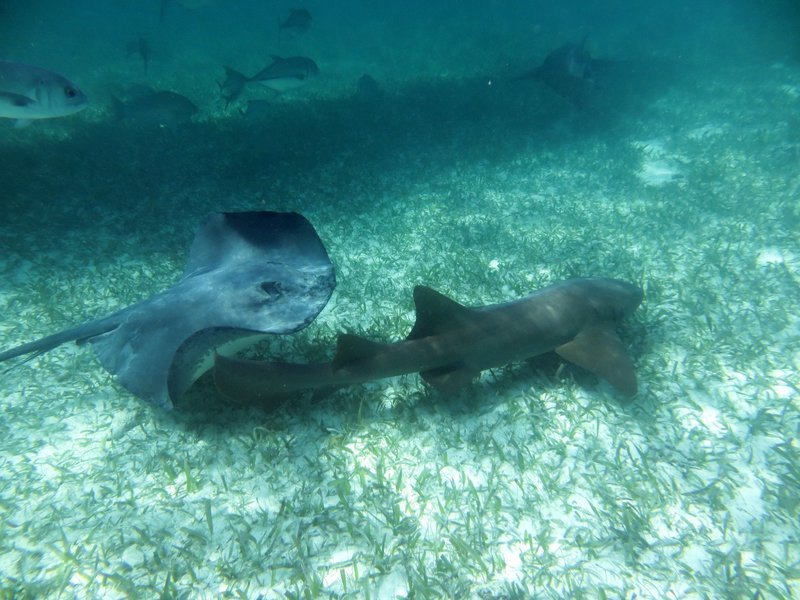 sting ray and shark