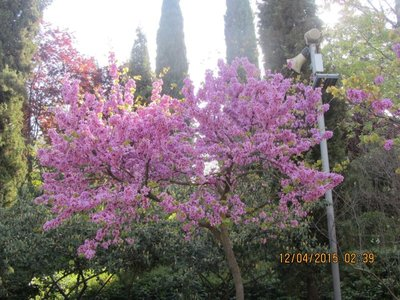 Flowering tree near entrance to Alhambra