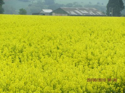 Farm land full of flowers like a yellow carpet