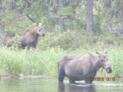 Moose_on_t.._small_.jpg