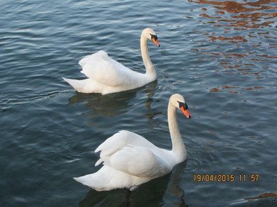 White Swans in the Luzerne lake