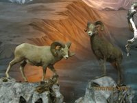 Taxidermis..n_Sheep.jpg