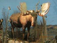 Taxidermist-Moose.jpg