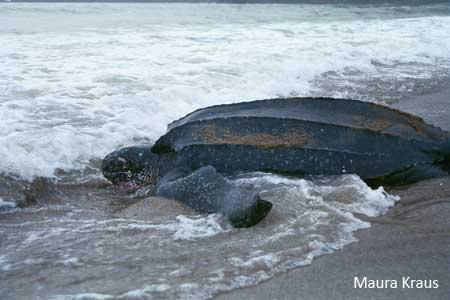 large_leatherback-pic.jpg