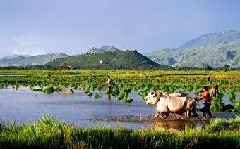 Myanmar Rice Harvest