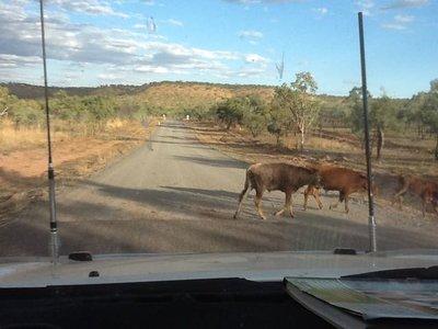 Cattle along the GRR